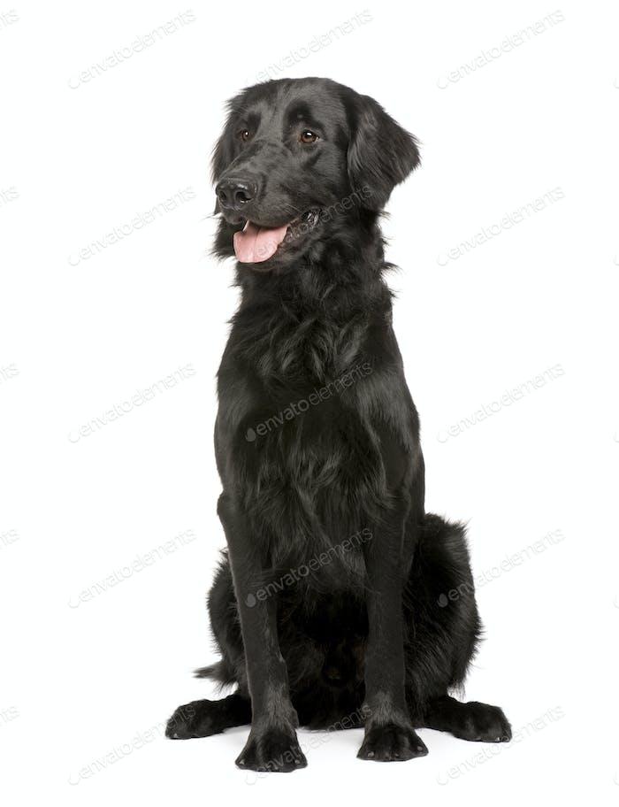 Black Labrador retriever (17 months)