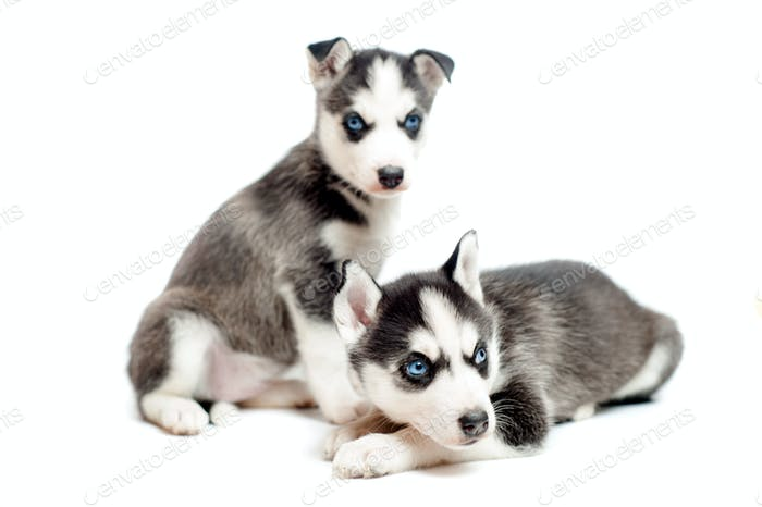 Two cute, 4 weeks old siberian husky puppies