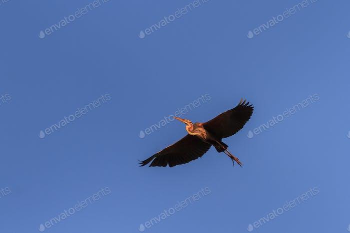 red heron (ardea purpurea) in flight