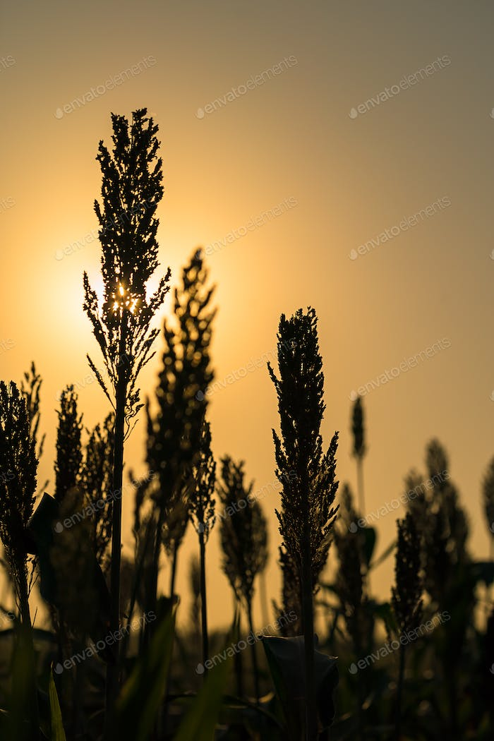 Close up Sorghum in field agent sunset-2