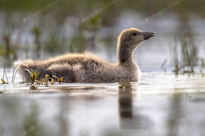 Greylag goose chick swimming in cold water
