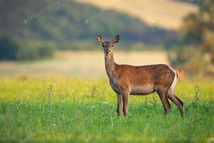 Tense red deer hind with warm light on a summer evening standing on meadow