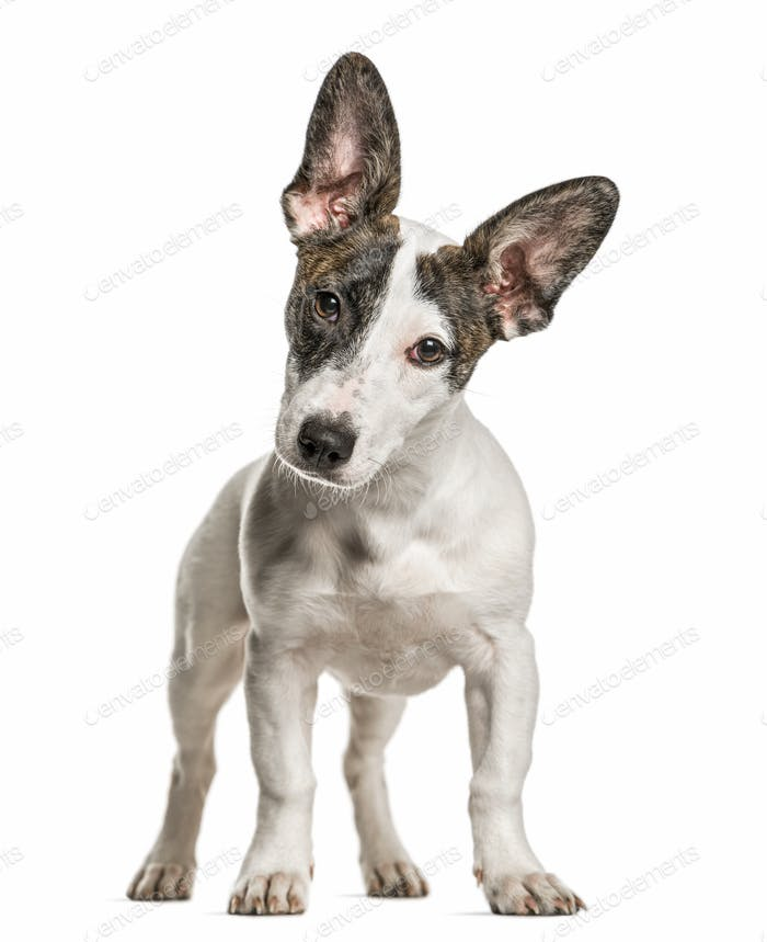 Jack Russell Terrier looking at the camera, isolated on white
