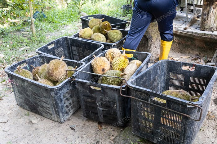 Worker sorting freshly harvested organic durian into grades