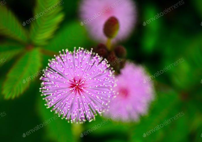 sensitive plant flowe
