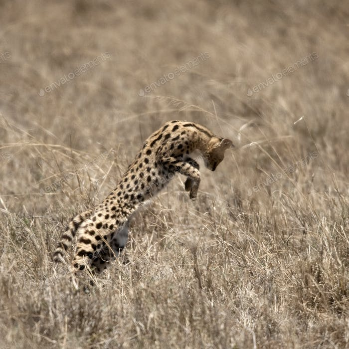 Serval leaping in Serengeti, Tanzania, Africa