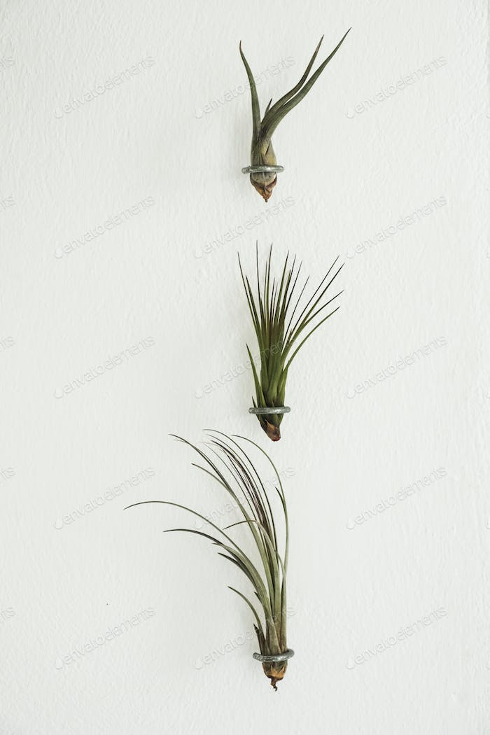 Close up of three air plants on white background.
