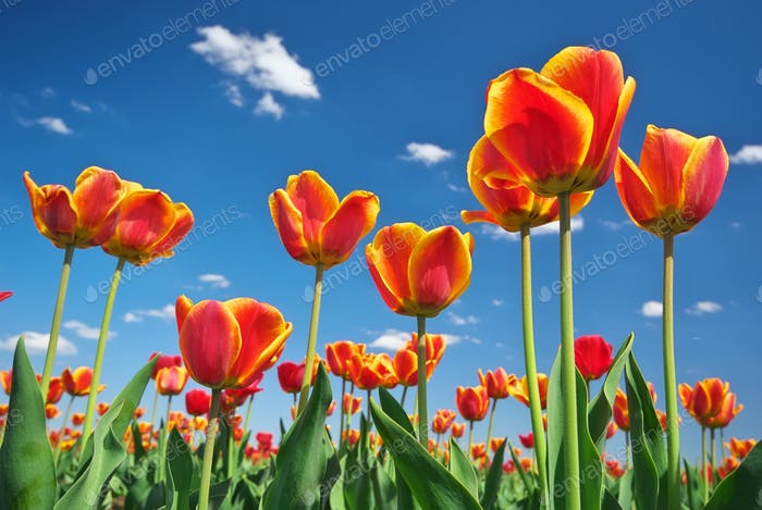 Tulips and sky background.