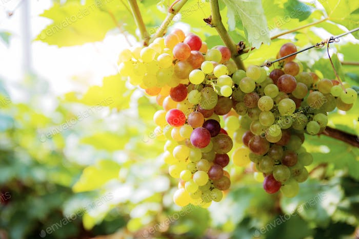 Grapes on tree with sunlight