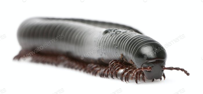 Millipede, Myriapoda, Spirostreptus giganteus, in front of white background