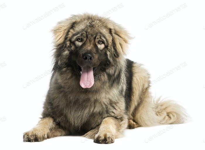 Yugoslav Shepherd Dog lying and panting