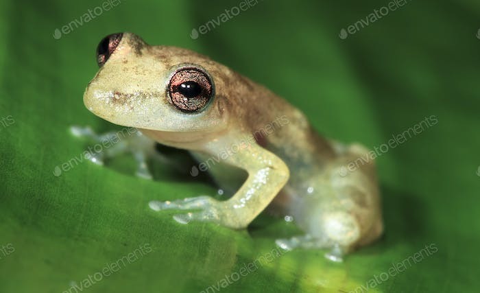 Stauffer's Treefrog on a Leaf in Belize