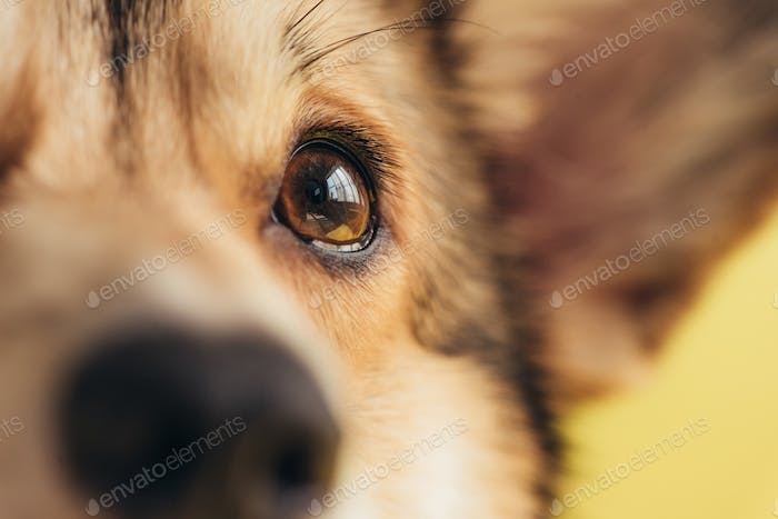 Close up of Eye of Pembroke Welsh Corgi Dog