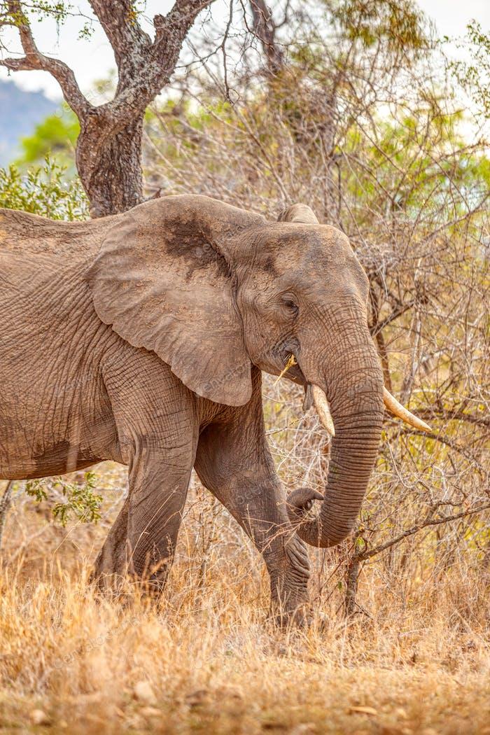Portrait of a Kruger Park Elephant