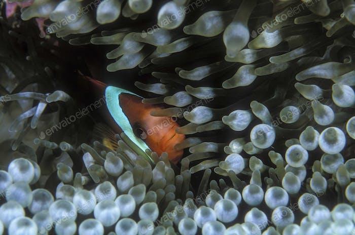 Clownfisch kuschelte sich in Anemone.