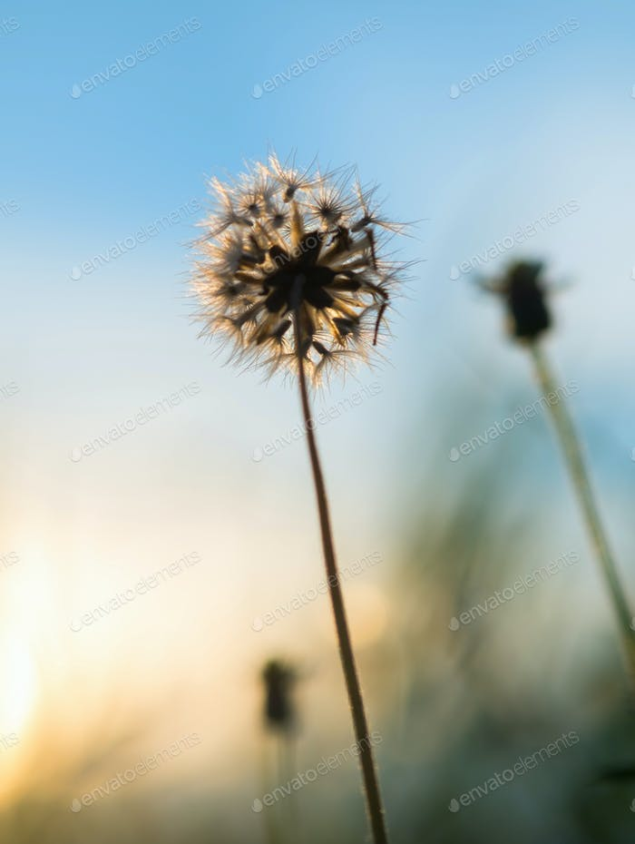 The Wilted dandelion