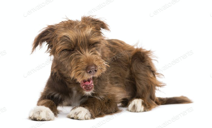 Crossbreed, 5 months old, lying and yawning, disgusted against white background