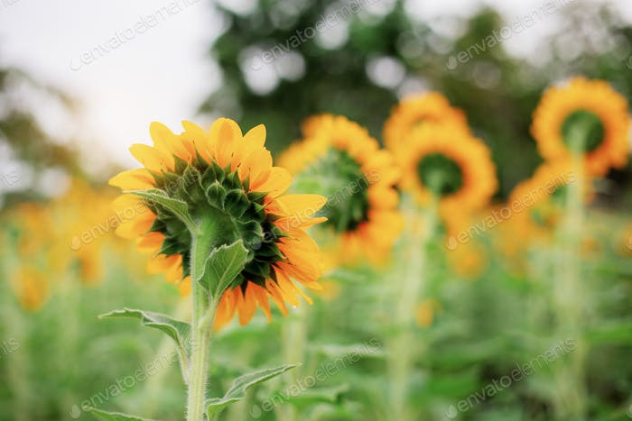 Sunflower with natural at sunlight