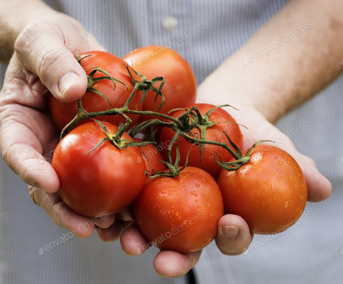 Hands holding tomatoes organic produce from farm