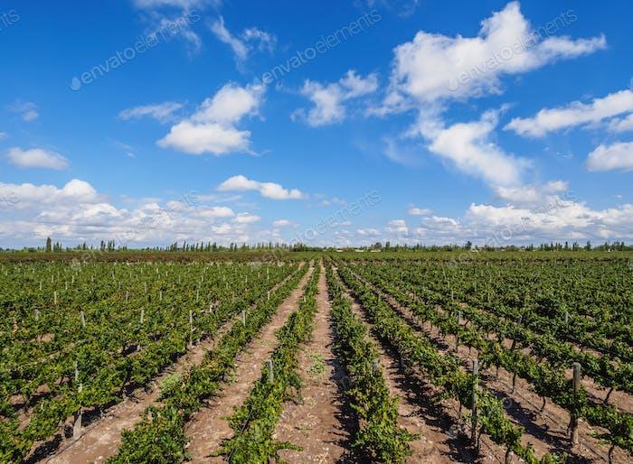 Vineyard in Mendoza Province, Argentina