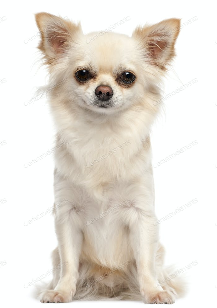 Chihuahua, 2 and a half years old, sitting in front of white background