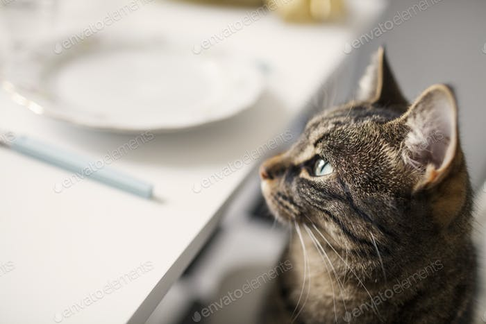 Close-up of tabby at home