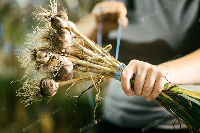 Tighting a rope Around a Freshly Picked Garlic Bouquet ready to