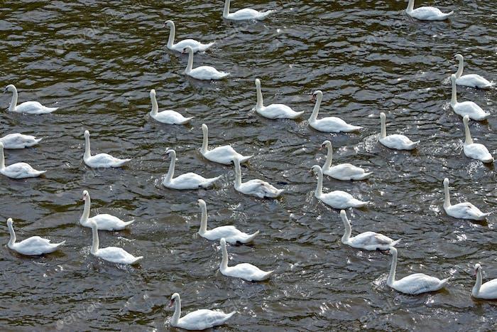 Many white swans