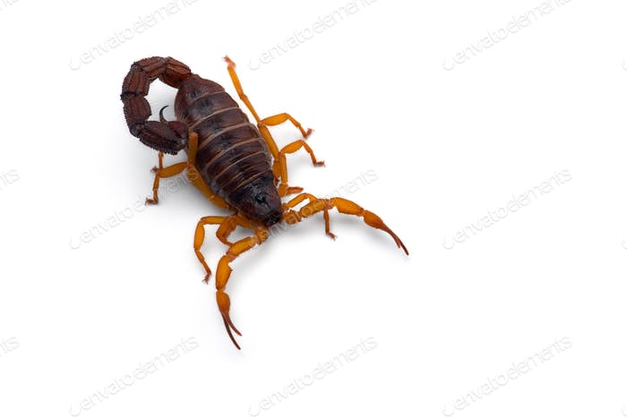 African venom Scorpion isolated on white background