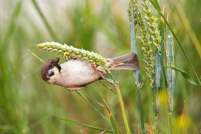 Curious eurasian tree sparrow hanging on haulm in the summer