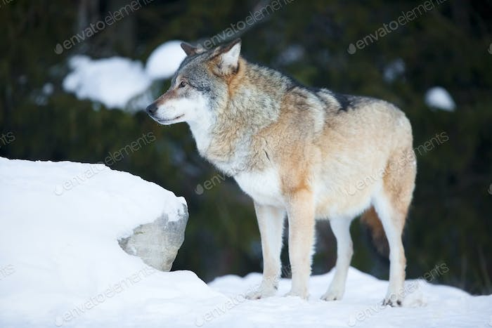Wolf in the cold winter forest