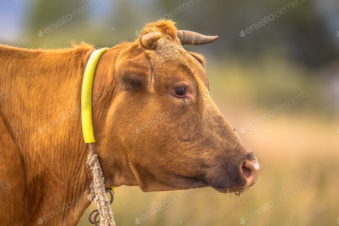 Brown cow headshot