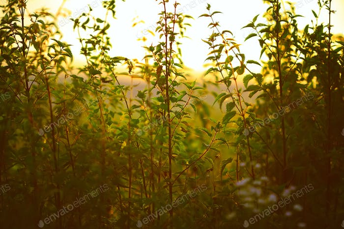 Nettle plant against the light in the sunset light