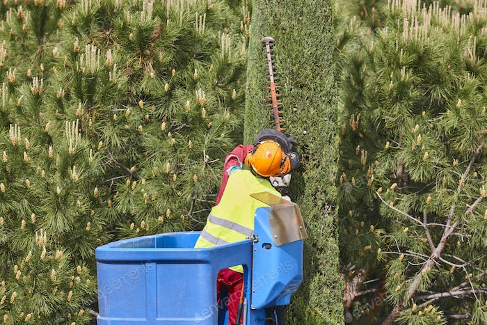 Gardener pruning a cypress on a crane. Seasonal trees maintenance