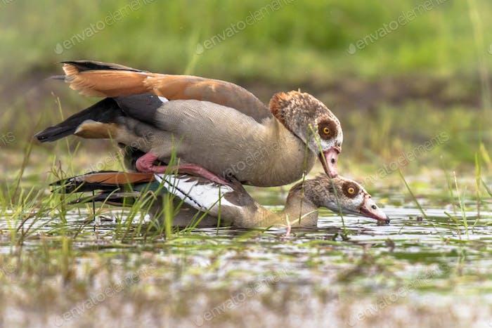Egyptian goose bird couple mating