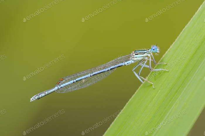 Beautiful cute dragonfly, White legged Damselfly