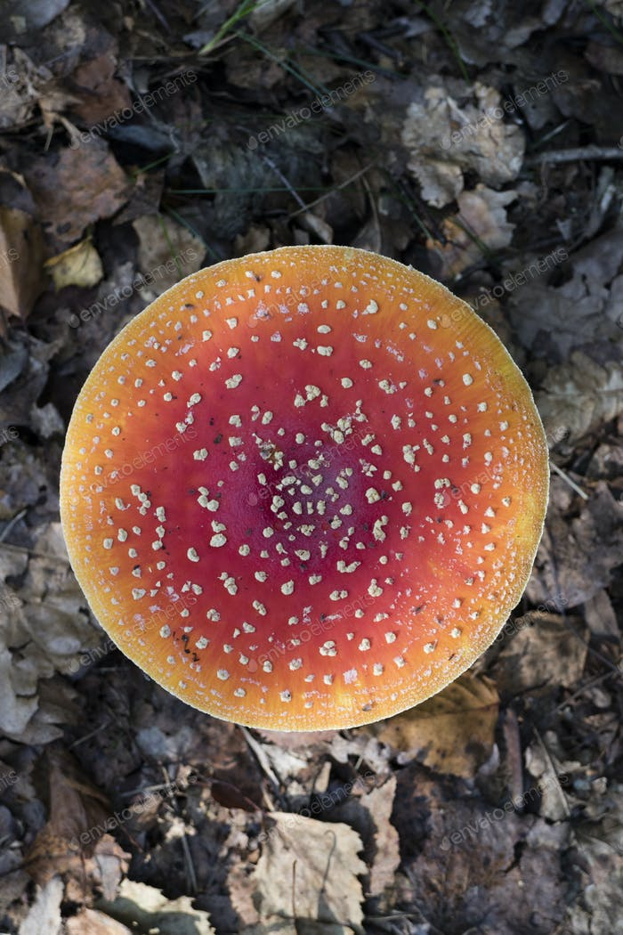 Amanita mushroom seen from above