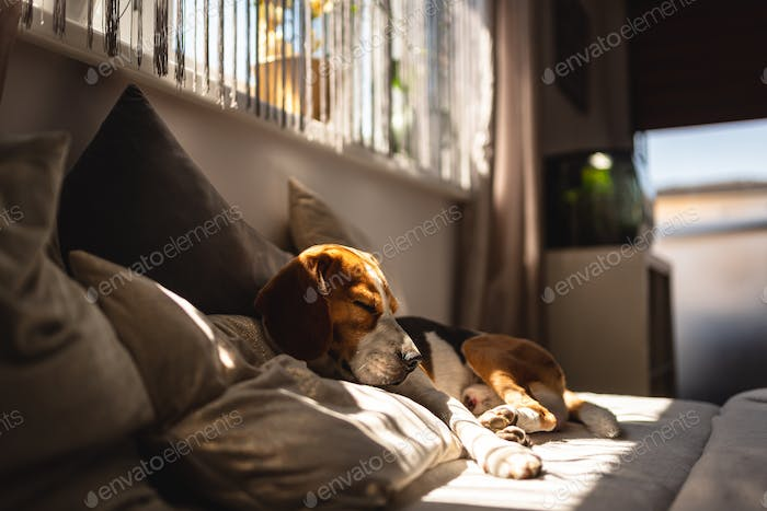 Beagle dog lying down on a sofa resting during summer heat wave.