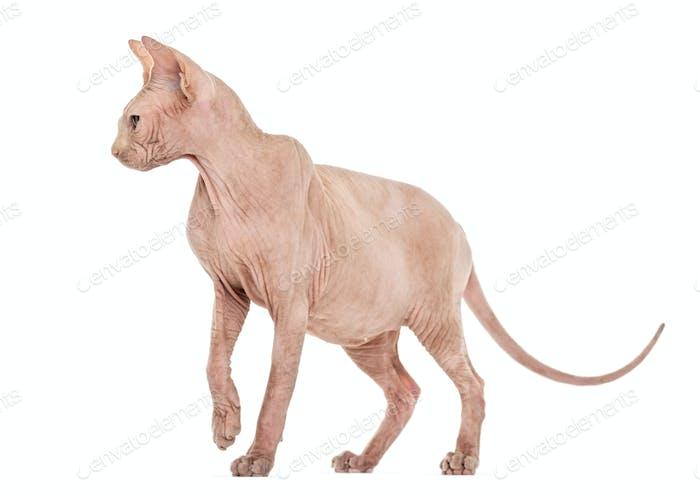 Sphynx Hairless cat standing against white background
