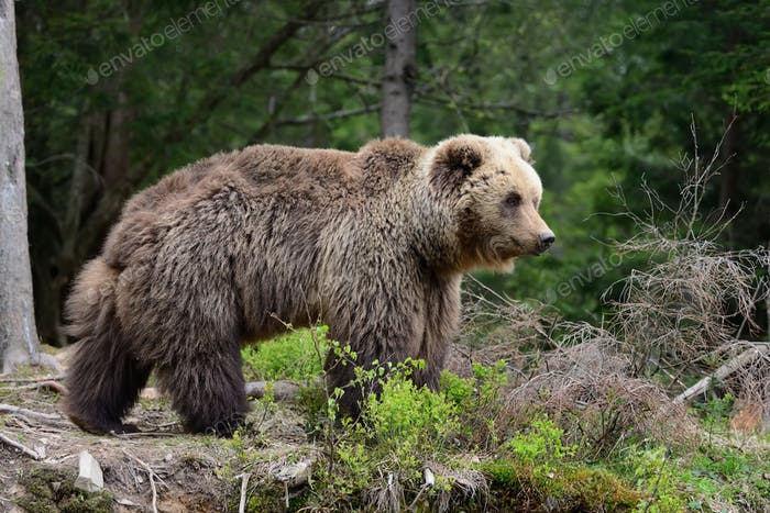 Big brown bear in the forest