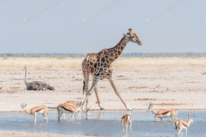 Giraffe and springboks at a waterhole in Northern Namibia
