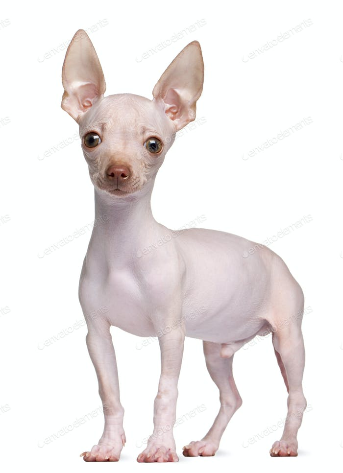 Hairless Chihuahua, 5 months old, standing in front of white background
