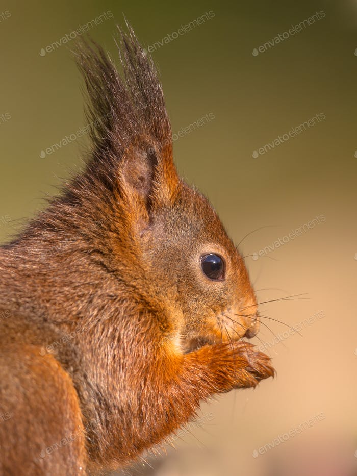 Sideview head portrait of red squirrel on green background