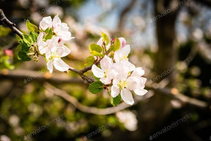 Flowers on branch of cherry tree in spring blooming