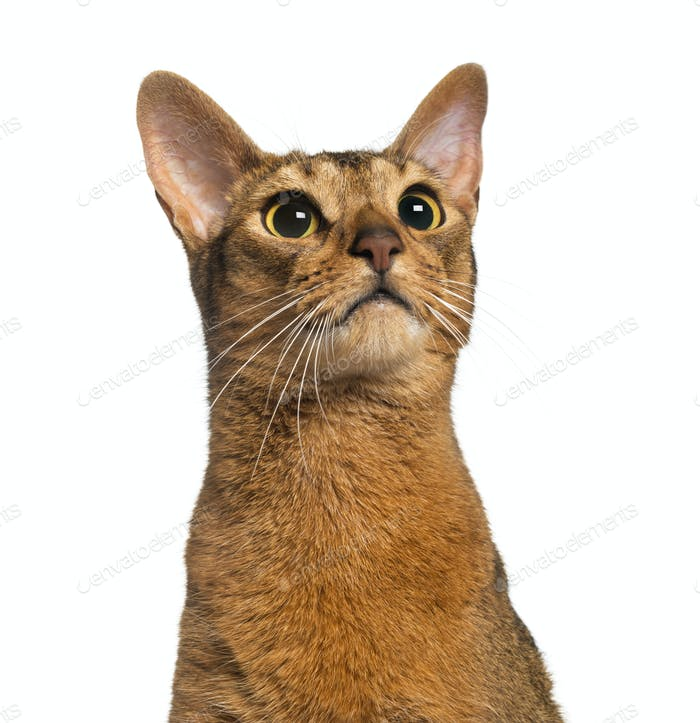 Abyssinian (2 years old), isolated on white