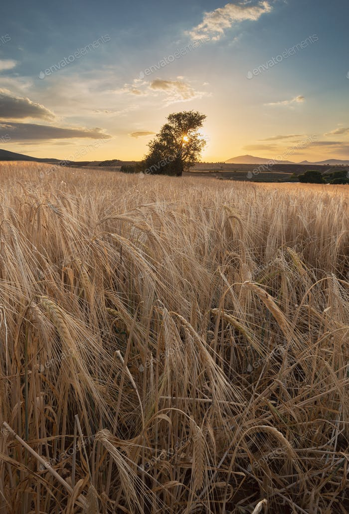 Wheat Field In The Sunset 3