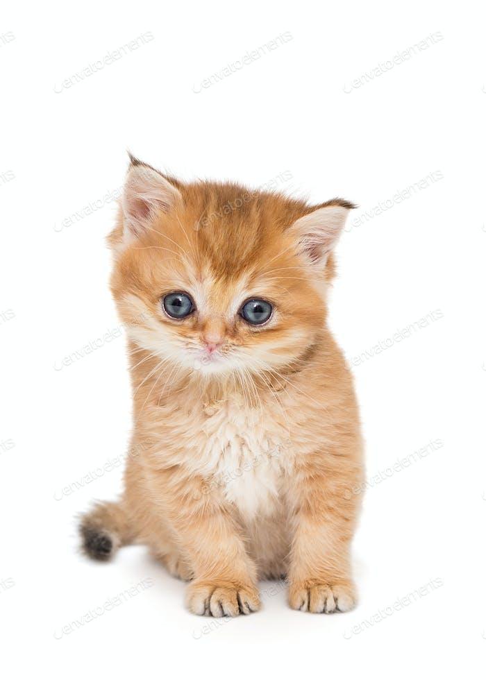 Small  kitten breed British