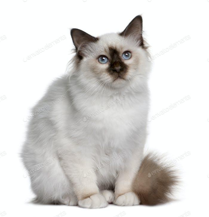 British Shorthair kitten (5 months old)