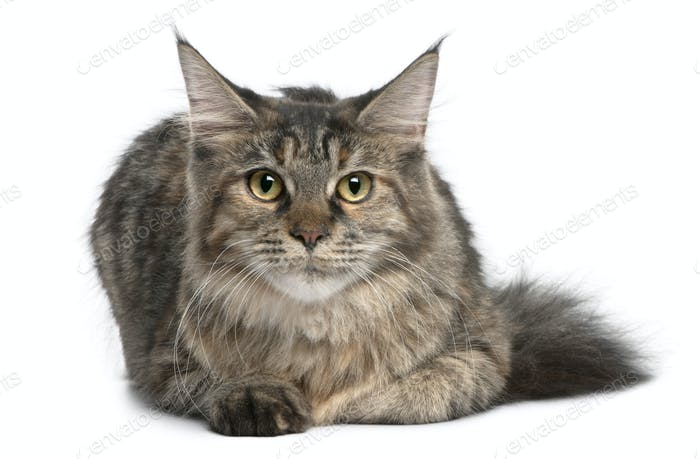 Maine Coon, 8 months old, lying in front of white background