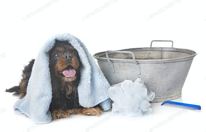 cavalier king charles and towel